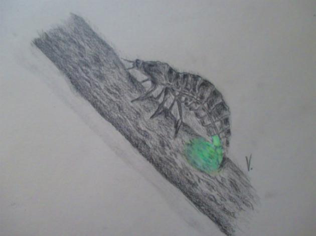 Lampyris noctiluca (Aryja)